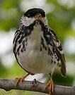 blackpoll warbler by Dennis Cheeseman