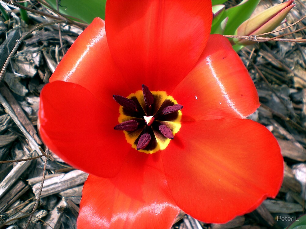 Tulip by Peter L