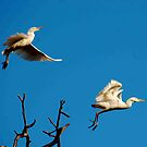 IN FLIGHT; CATTLE EGRET - Bubulcus ibis by Magriet Meintjes