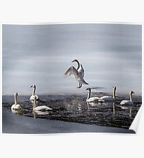 Trumpeter Swans [Cygnus buccinator] Heading North Poster