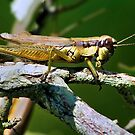 LARGE GRASSHOPPER by TJ Baccari Photography