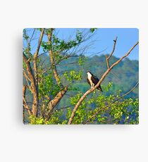 A Perched Osprey Canvas Print