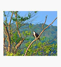 A Perched Osprey Photographic Print