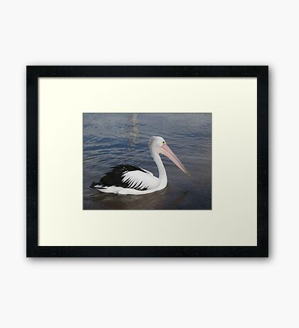 Hello Pelican - Rottnest  Island 3 Framed Print