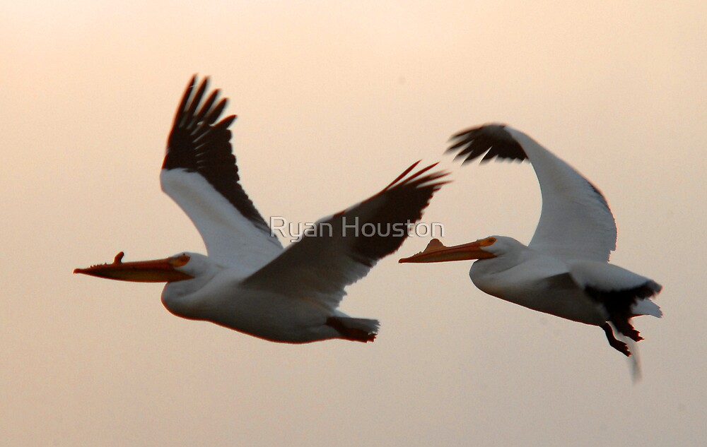 American White Pelicans in  Flight by Ryan Houston
