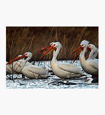 Pelicans - Saratoga Springs, Utah Photographic Print