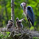 Great Blue Heron and Twin Chicks by TJ Baccari Photography