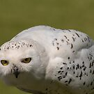 Snowy Owl Portrait  by M S Photography/Art