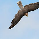 Lanner Falcon in flight by M S Photography/Art