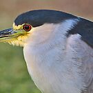 Portrait of a Night Heron by Marvin Collins