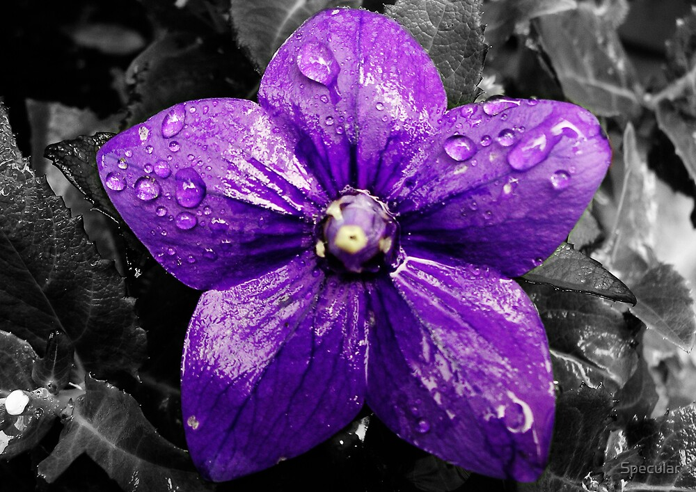 Purple Drops by Specular