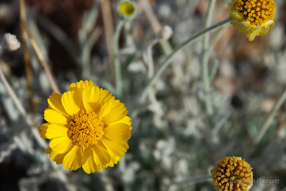 Desert Sunflower No. 1 by Benjamin Padgett