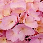 Hydrangea Macro Pink Peach by LaurenWDesigns
