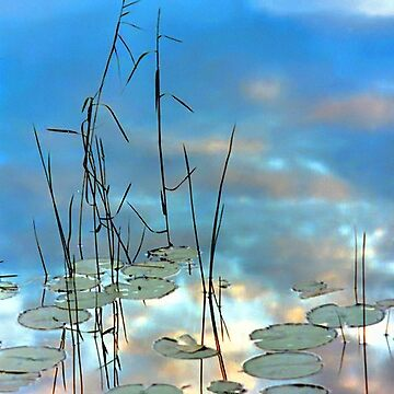 """Reflection - Reeds and Pond Lilies"" by rural-guy"