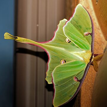 The Luna Moth (Actias luna) by CameraView
