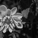 Dahlia Days by Clare Colins