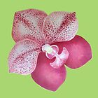 Red orchid by pracha