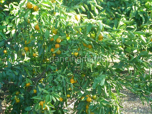 orange tree - original version by dancingminds