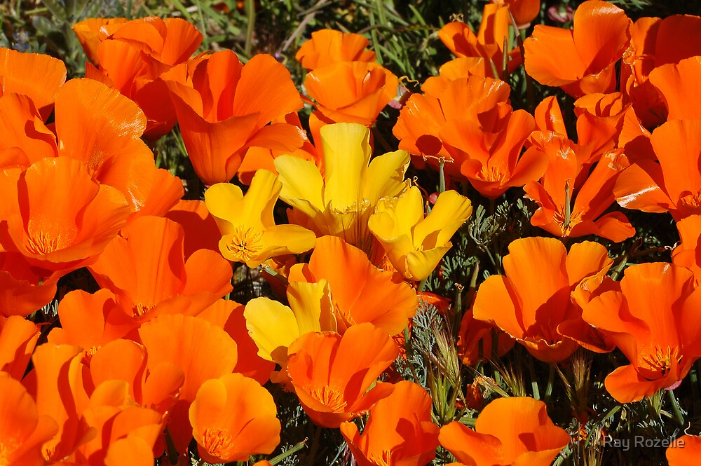 Antelope Valley  poppies  by Ray Rozelle