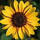 The Bright Eyed Sunflower by Jacqueline Cooper