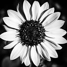 The Bright Eyed Sunflower in Black & White by Jacqueline Cooper