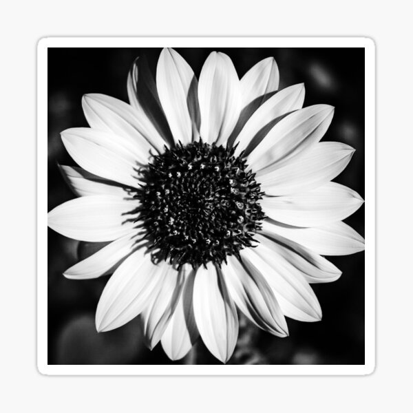 The Bright Eyed Sunflower in Black & White Sticker