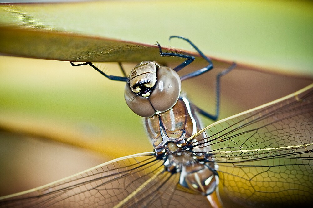 Big Dragonfly by Kye Vincent