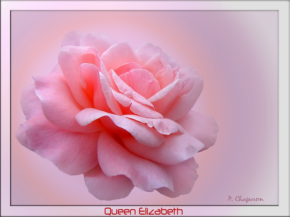 The Rosy Rose by paulchaperon