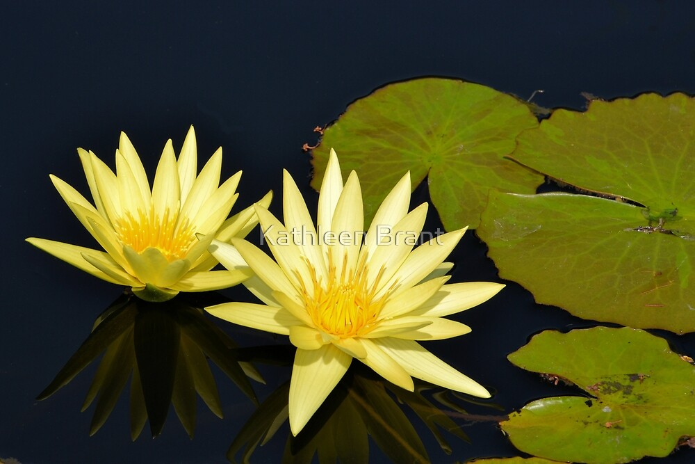 Yellow Water Lilies by Kathleen Brant