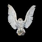 Snowy Owl Landing by Walter Colvin