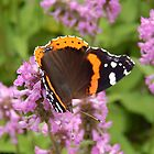 Red Admiral on Wildflowers by Kathleen Brant