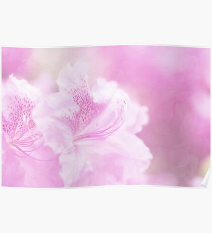Soft and Lovely Pink Rhododendrons Poster