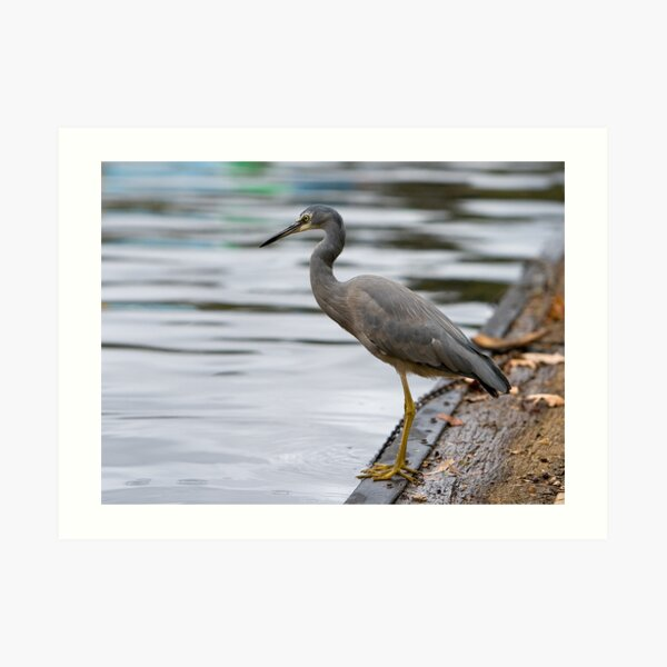 Heron on Torrens. Art Print