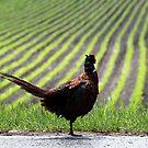 22.6.2017: Male Pheasant by Petri Volanen