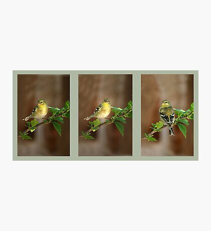 American Goldfinch Photographic Print