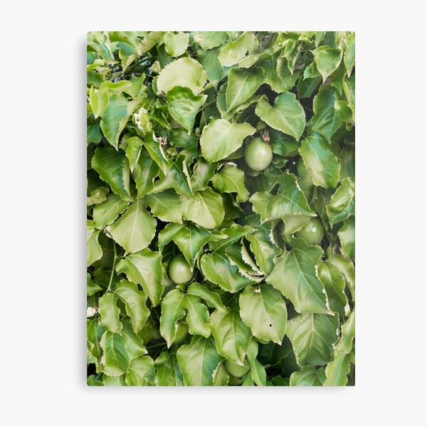 Passion-fruit Plant with Fruit Metal Print