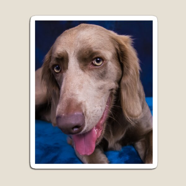Long Haired Weimaraner Close Up Magnet