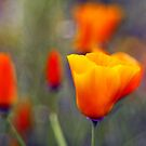 poppy by bogfl