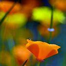 poppies by bogfl