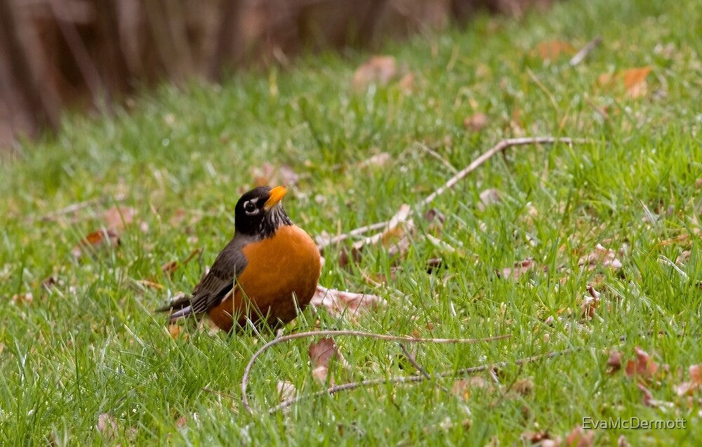 Robin Red Breast by EvaMcDermott