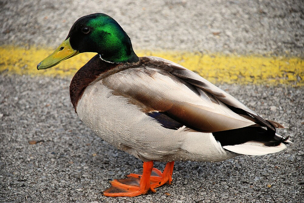 Mallard Duck by ndh1244