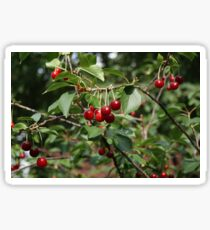 Bright Red Cherries on a Small Tree Sticker