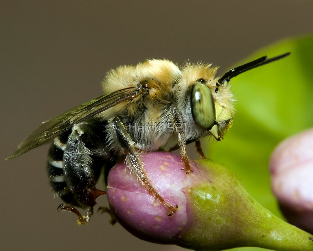 Miner Bee by Hatch1921