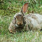 """ A one Eared Rabbit""??? by Malcolm Chant"
