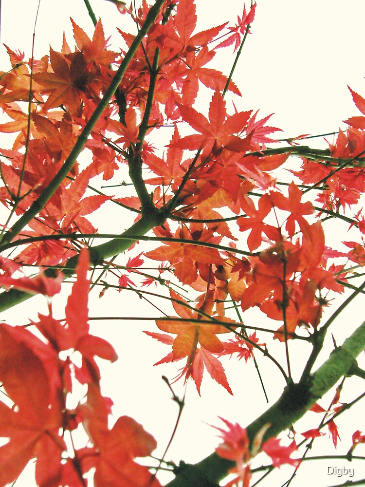 Japanese Maple by Digby