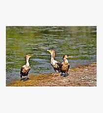 3 Cormorants Photographic Print