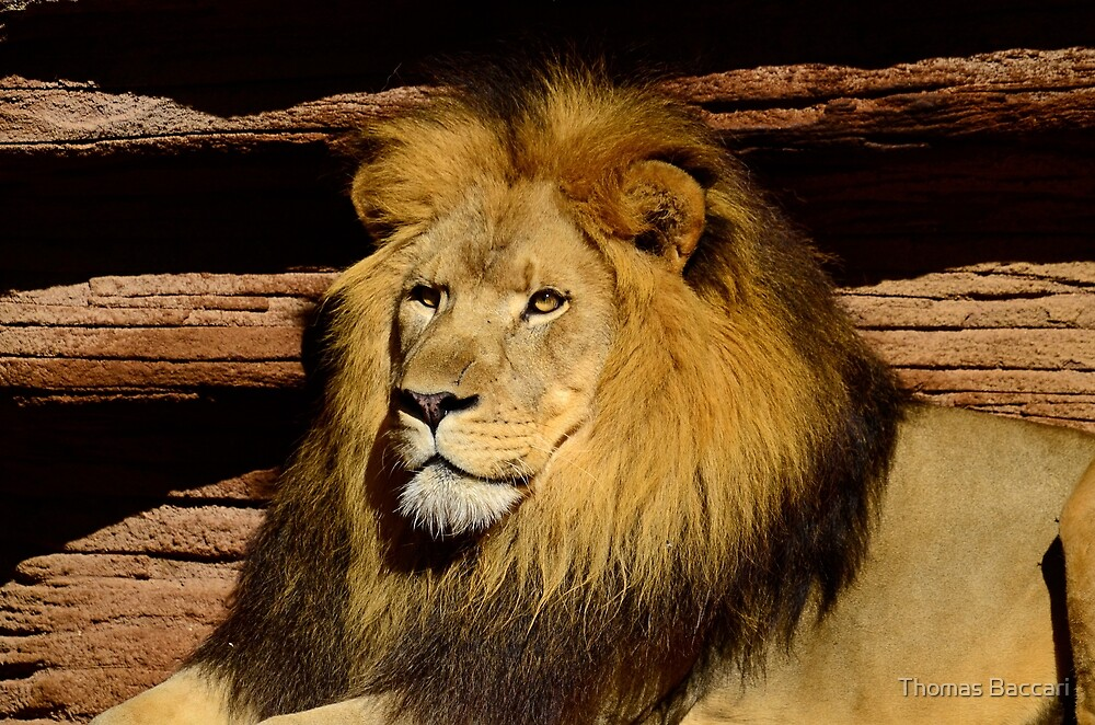 King of the Jungle by TJ Baccari Photography