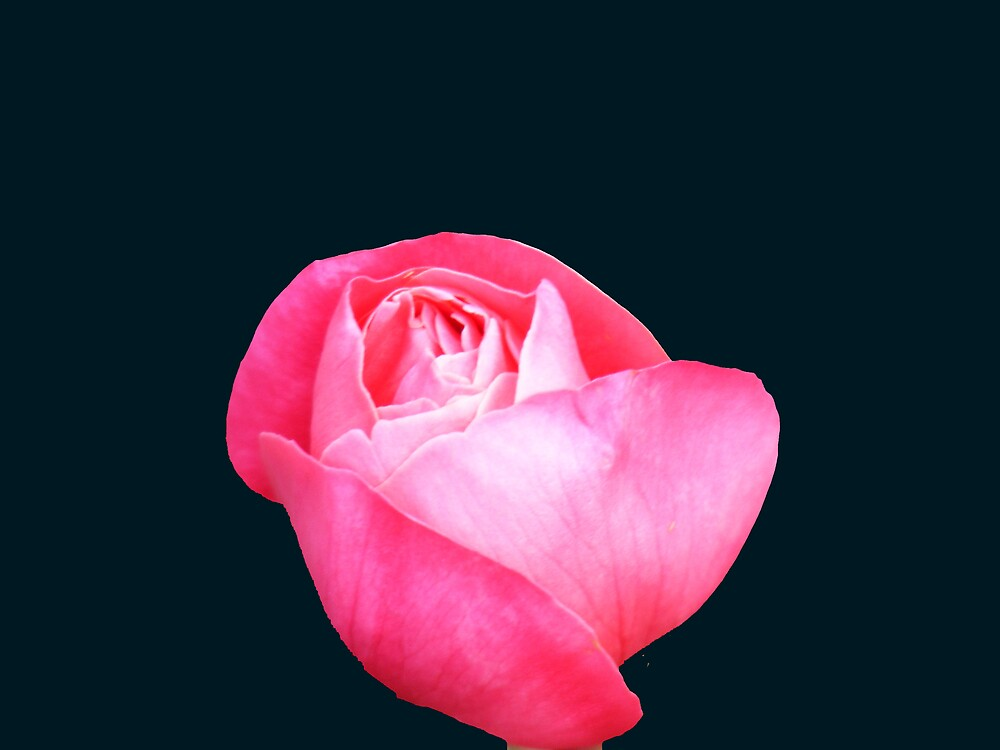 Rose  by jbrinx27