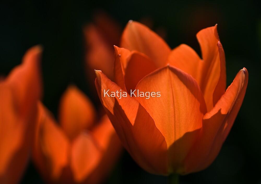 red tulip by Katja Klages