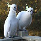 Australian White Cockatoo by SharonD
